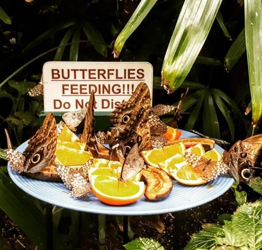 Butterfly Feeding Frezy