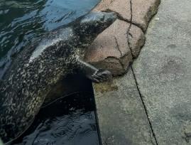 The Seal Feeding